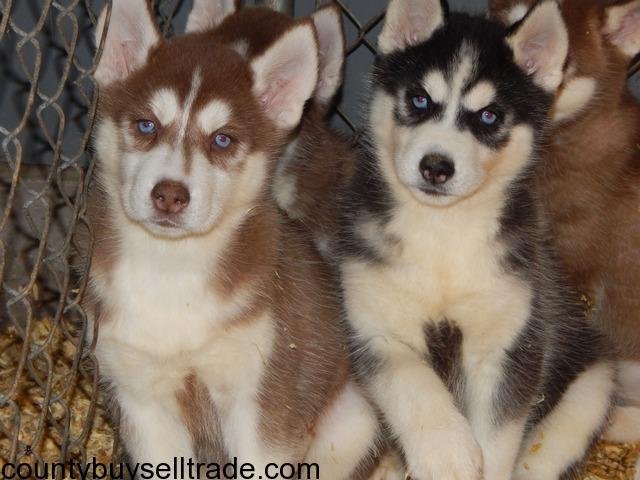 Siberian Husky Puppies For Sale In Burlington Des Moines Iowa